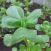 Маленький овощной эксперимент: выращивание портулака из семян в домашних условиях