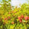 Малина, основные ошибки при выращивании малины