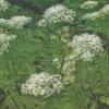 Миррис, или ладан, описание, фото, родственник петрушки, условия выращивания