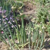 Многоярусный лук для ранней зелени
