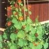 Настурция в украшении сада и жилища, деликатес и лекарство