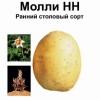 Немецкий картофель сорта молли — отличные вкусовые качества и высокая урожайность