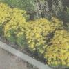 Неприхотливые цветы кореопсиса многолетнего в саду