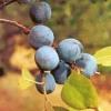 Новые сорта гибридного тёрна - алычовый, душистый (№ 10-17), вишнёвый (вишнесливовый), абрикосовый, краснолистный