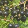 Новые сорта смородины бачарской селекции, описание