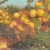 О перспективах выращивания сливы в суровых климатических условиях среднего урала