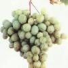 О сортах винограда восторговской группы, преимущества сортов группы восторг, описание, фото