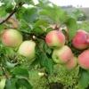 Об отрицательных последствиях перегруженности яблони урожаем