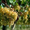 Обрезка винограда летом и осенью: что нужно знать о ней и как ее осуществлять?