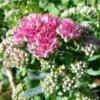 Очиток или седум в саду, культура, сорта, условия произрастания