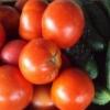 Огурцы и помидоры в одной теплице из поликарбоната: как посадить, выращивание, совместимость, уход