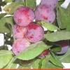Опыт селекции и испытания сортов вишнесливы в условиях горного алтая