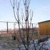 Опыт выращивания колонновидных яблонь на урале