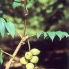 Орех маньчжурский: хозяйственные качества и лечебные свойства