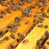 Осмотр пчел