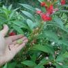 Особенности сбора семян цветов. Как это делаю я