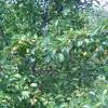 Особенности выращивания груши. Сорт кюре