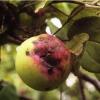 Парша яблони и груши, меры профилактики и борьбы с болезнью