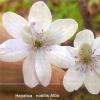 Перелеска, или печёночница, виды печёночницы, украшение сада