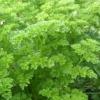 Петрушка, полезные свойства растения