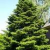 Пихта на садовом участке, полезные свойства растения
