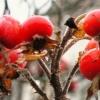 Плоды шиповника — лечебные свойства и противопоказания