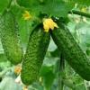 Подкормка и удобрение почвы для выращивания огурцов