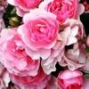 Полиантовые розы на участке, происхождение вида, роль в дизайне сада
