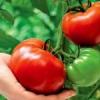 Полудетерминантные томаты — посадка и уход за растением