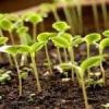 Как посеять семена томатов