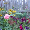 Помогите определить какого сорта роза?
