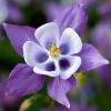 Посадка аквилегии и уход за мистическим цветком