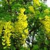 Посадка и уход за акацией желтой (караганой древовидной): описание, размножение