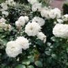 Посадка и выращивание роз в суровом климате