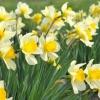 Посадка луковиц цветов – 6 важных моментов