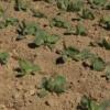 Посадка рассады капусты, уход за рассадой