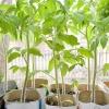 Правила подготовки и высадки рассады томатов в открытый грунт