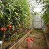 Правила посадки помидоров в парник рассадой