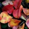 Причины изменения цвета у листьев груши