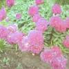 Причины отсутствия цветения у пионов