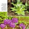 Примула, или первоцвет, баранчик в дизайне сада, виды примул