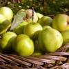 Районированные сорта яблони для ленинградской области, характеристики сортов