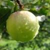 Ранние сорта яблони, их характеристики