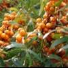 Размножение облепихи семенным и вегетативным способом