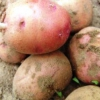 Условия хранения семенного картофеля и способы подготовки его к посадке