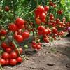 Рецепты подкормок из дрожжей для рассады томатов и перца