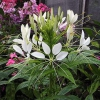 Рекомендации по выращиванию клеомы из семян
