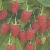 Ремонтантная малина нижегородец - супермалина, описание сорта