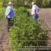 Ремонтантные сорта малины в сибири, условия их выращивания