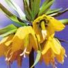Рябчик императорский, или фритиллярия, особенности цветов, выращивание рябчика